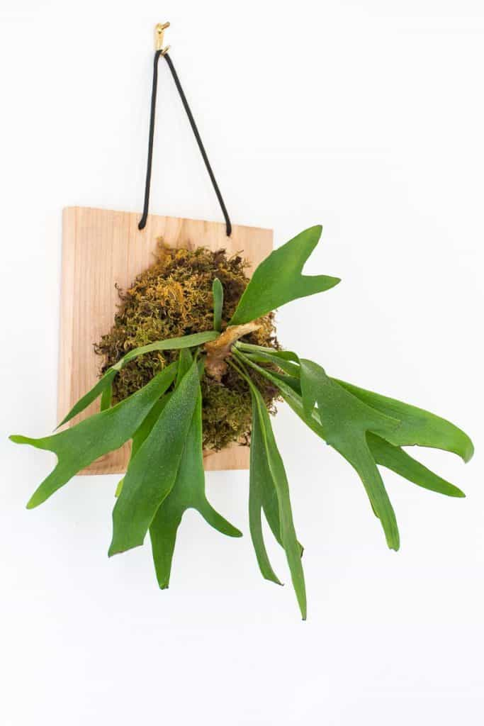 How to make a wall mounted staghorn fern.