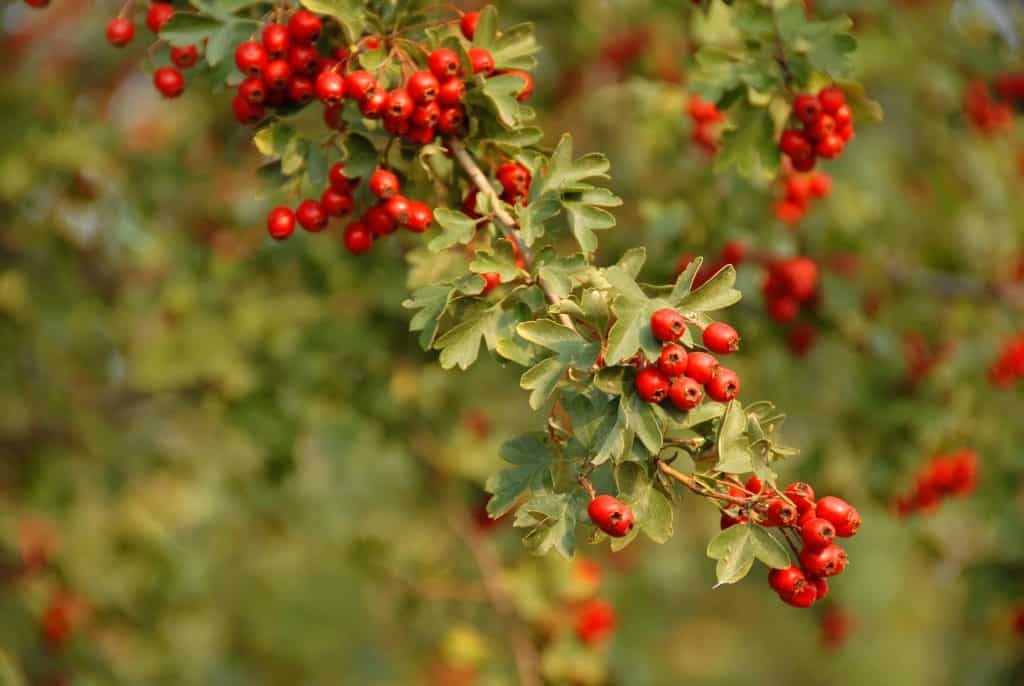 Hawthorn weed can be used in salads or to make jam.