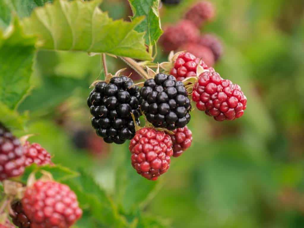 Bramble weed has edible fruit.